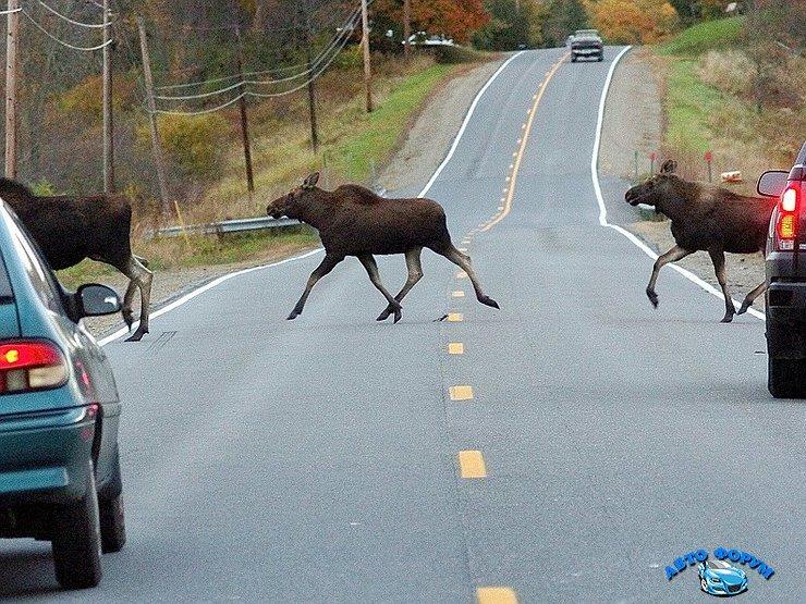 лоси бегут через дорогу.jpg